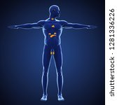 human endocrine system... | Shutterstock . vector #1281336226