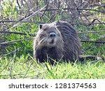 coypu or nutria  myocastor... | Shutterstock . vector #1281374563