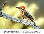 A Ladder Backed Woodpecker...