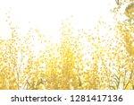 mimosa spring flowers.... | Shutterstock . vector #1281417136