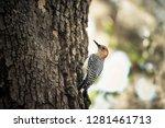 Red Bellied Woodpecker On Tree