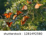Monarch Butterflies  Danaus...