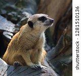 surykatka  suricata suricatta    Shutterstock . vector #1281510136