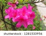pink rhododendron flower | Shutterstock . vector #1281533956
