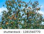 organic persimmon fruit on tree ... | Shutterstock . vector #1281560770