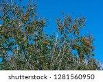 organic persimmon fruit on tree ... | Shutterstock . vector #1281560950