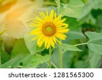 beautiful sunflower in green... | Shutterstock . vector #1281565300