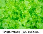 closeup lettuce for salad  | Shutterstock . vector #1281565303