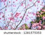 sakura flower background.... | Shutterstock . vector #1281575353
