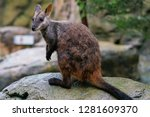 Brush Tailed Rock Wallaby Or...