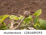 Single Snail Perched On Top Of...