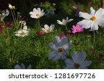 closeup white cosmos flower in... | Shutterstock . vector #1281697726