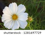 closeup white cosmos flower in... | Shutterstock . vector #1281697729
