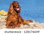 Red Irish Setter Dog Near Blue...
