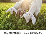 Three Goat Kids Grazing On...