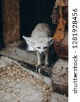 Small photo of White fox with long ears. Selective focus