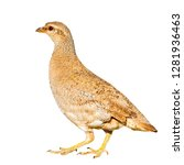 isolated partridge. white...   Shutterstock . vector #1281936463