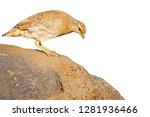 isolated partridge. white...   Shutterstock . vector #1281936466