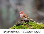 a male purple finch perched... | Shutterstock . vector #1282044220