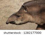 south american tapir  tapirus... | Shutterstock . vector #1282177000