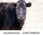 black calf. caucasian cattle... | Shutterstock . vector #1282198033