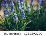 grape hyacinth muscari...   Shutterstock . vector #1282292200