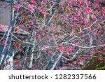 sakura flower background.... | Shutterstock . vector #1282337566