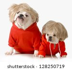 Stock photo cute dogs wearing exercise clothing isolated on white background english and french bulldogs 128250719