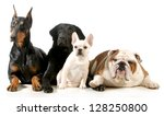 Stock photo four different breeds of dogs laying together isolated on white background 128250800