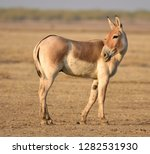 indian wild ass endangered...   Shutterstock . vector #1282531930