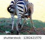 mofther zebra nursing baby in n....   Shutterstock . vector #1282621570