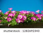 Petunia  Petunia And Blurred...