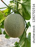 fresh melons or green melons or ...   Shutterstock . vector #1282702516
