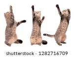 Stock photo gray cat plays in various poses on a white background cat catches paws on a white background 1282716709