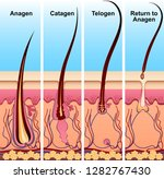 four stages of the hair growth... | Shutterstock .eps vector #1282767430
