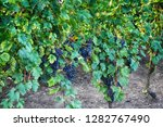 czech vineyards from moravia as ... | Shutterstock . vector #1282767490