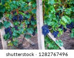 czech vineyards from moravia as ... | Shutterstock . vector #1282767496