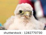 cute little young kestrel... | Shutterstock . vector #1282770730