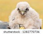 cute little young kestrel... | Shutterstock . vector #1282770736