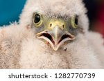 cute little young kestrel... | Shutterstock . vector #1282770739