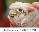 cute little young kestrel... | Shutterstock . vector #1282770760