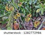 hamamelis virginiana scrub with ...   Shutterstock . vector #1282772986