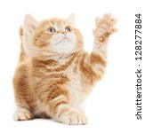Stock photo one playing british shorthair red kitten cat isolated 128277884