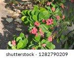 euphorbia milii flowers in the... | Shutterstock . vector #1282790209