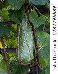 long tracery bottle gourd...   Shutterstock . vector #1282796689