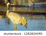 common crane birds in the... | Shutterstock . vector #1282824490