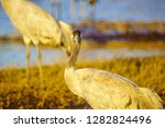 common crane birds in the... | Shutterstock . vector #1282824496