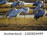 common crane birds in the... | Shutterstock . vector #1282824499
