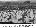 common crane birds in the... | Shutterstock . vector #1282824520