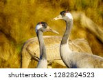 common crane birds in the... | Shutterstock . vector #1282824523